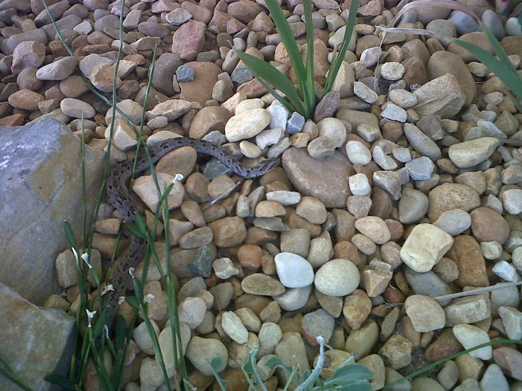 This night adder thought he'd see what I was up to. Thank goodness the Archie dog was asleep inside!