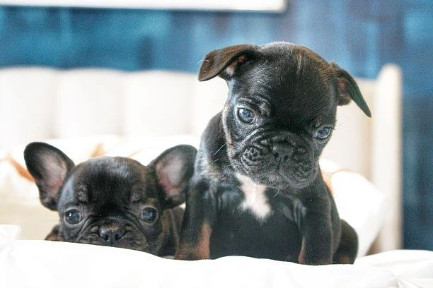 French Bulldog Breeder Based In Houston Texas Producing Top Quality French Bulldogs With Beautifu With Images French Bulldog French Bulldog Breeders Cute French Bulldog