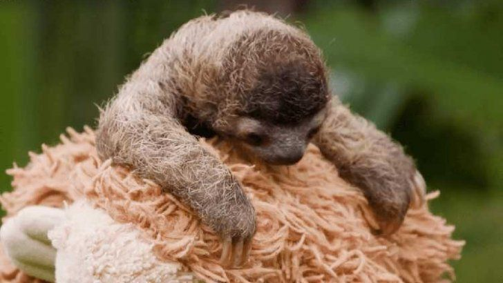 baby sloth - cute baby sloth video