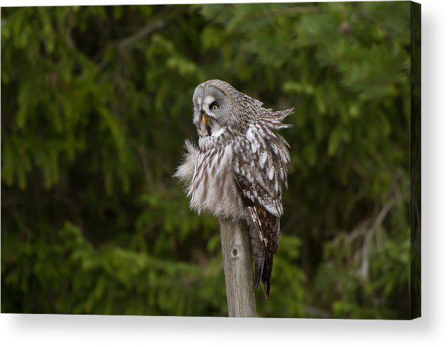 The Great Grey Owl  The Great Grey Owl in the favorite position on a post watching for a vole. By Torbjorn Swenelius Photography
