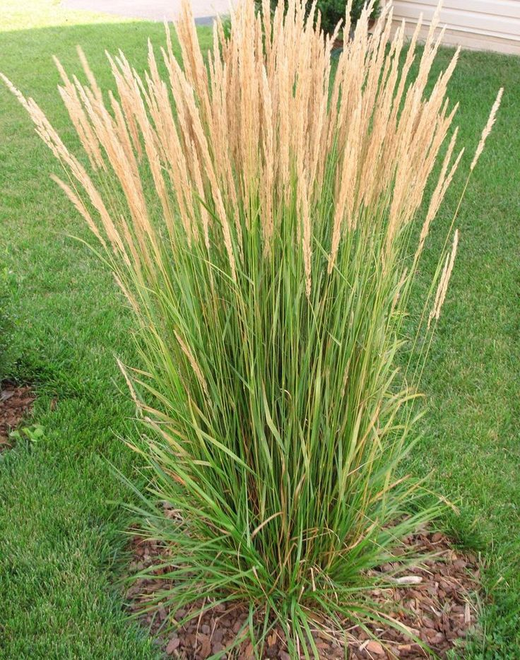 55 best karl foerster in my garden images on pinterest for Ornamental grass landscape ideas