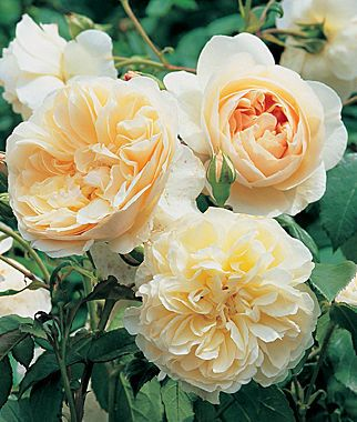 English Rose, Lichfield Angel   http://dabbiesgardenideas.com/buy-roses-online/