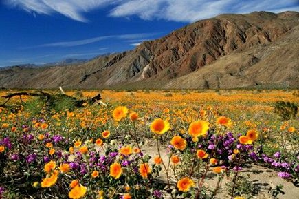 Anza-Borrego always has the prettiest flowers, reminds me of Howl's Moving Castle all it needs is a little cottage.