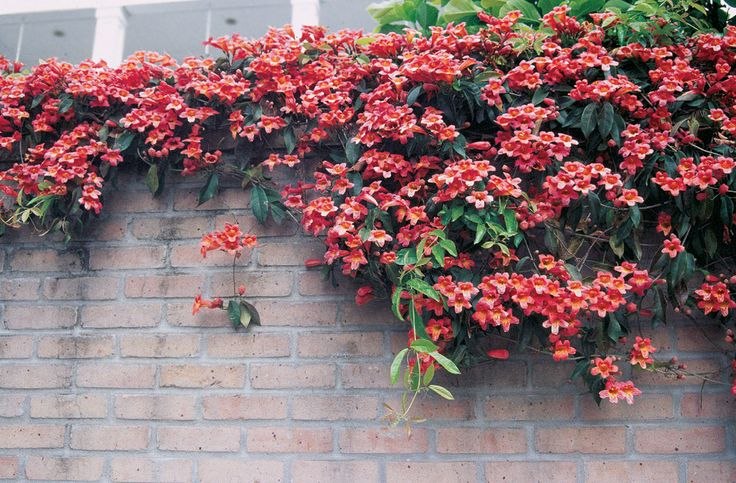 Brick Wall with flowering Vines   Trumpet vine grows over the top of this brick wall, bringing it to ...