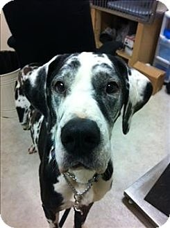 Great Dane Dog for adoption in Vancouver, British Columbia - Ryder *in Foster*