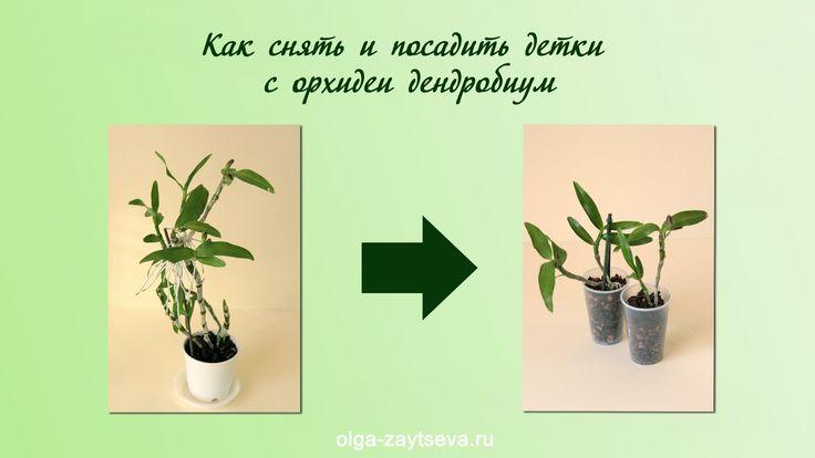 Как снять и посадить детку орхидеи дендробиум