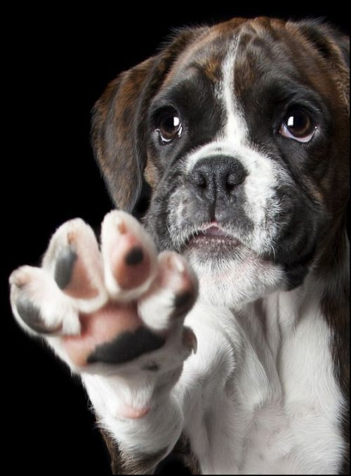 Dogs | Super adorable Boxer