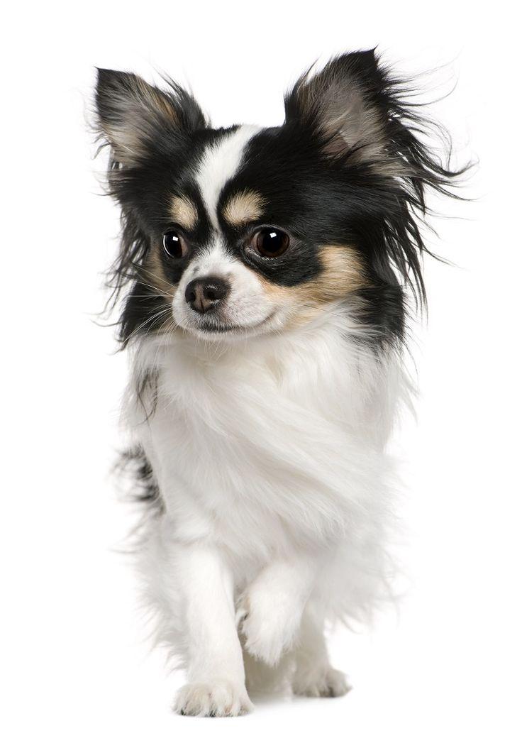 Langhaar Chihuahua … Papillon hund, Chihuahua welpen