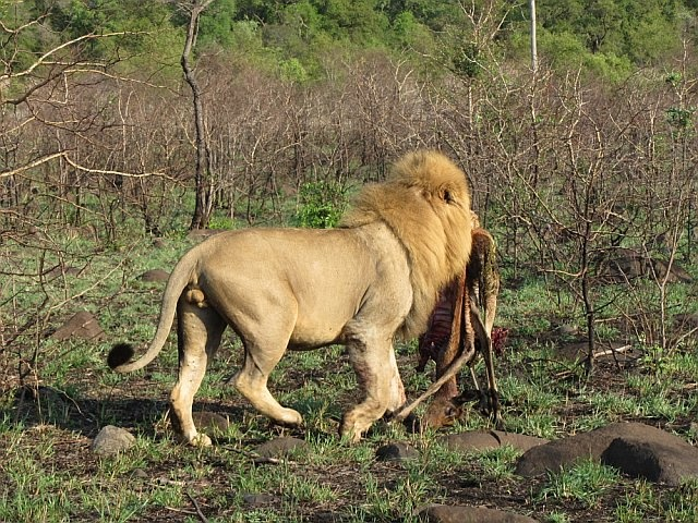 A gorgeous male lion taking his kill for a walk.  Ngala Game Reserve, South Africa. Nov 2011.