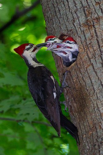Woodpecker Lunch Time::