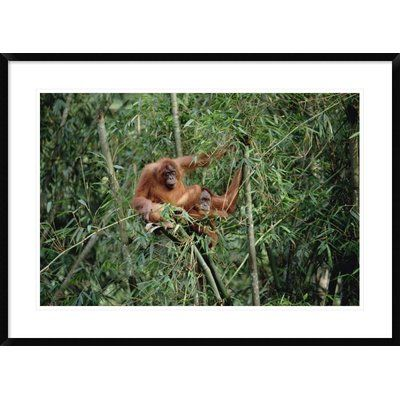 Global Gallery 'Orangutan Pair, Gunung Leuser National Park, Sumatra' Framed Photographic Print Size: