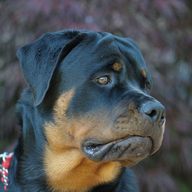 Rottweiler Wallpaper: 200+ Best Images About The Wonderful Rottweiler On