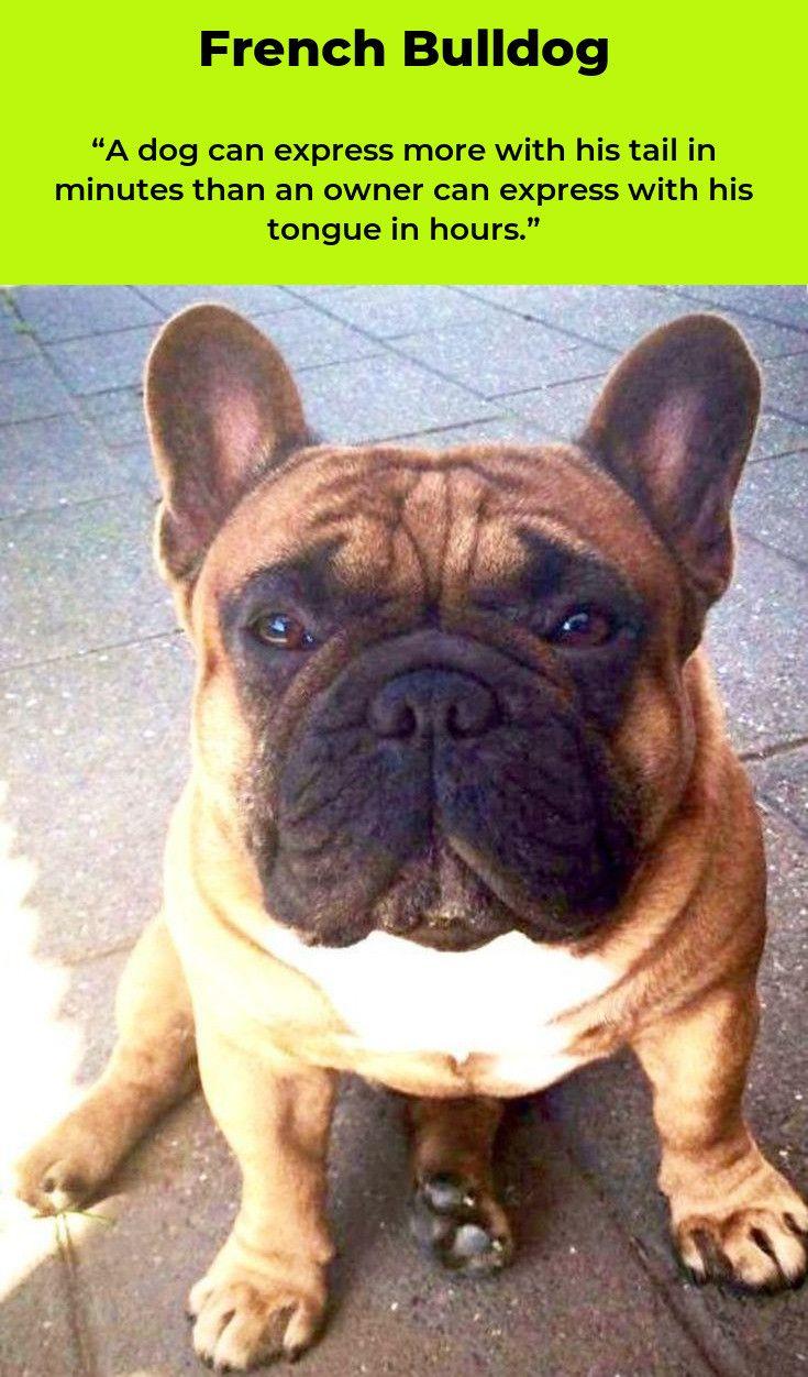 French Bulldog Love Frenchbulldogg Frenchbulldogstyle French Bulldog Blue Fawn French Bulldog Cute French Bulldog