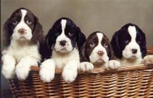 Spaniel Adopt Local Dogs Amp Puppies In Ontario Kijiji