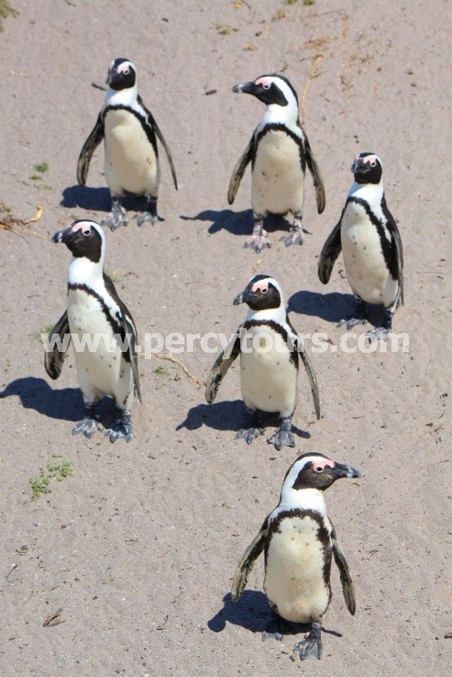 Penguin colony near Hermanus - http://www.percytours.com/bird-watching-in-hermanus.html