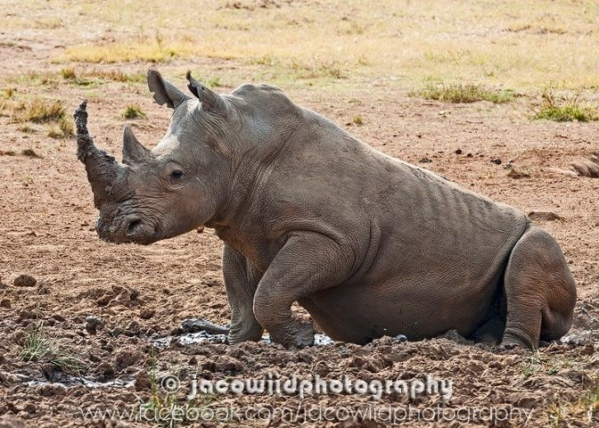 A day at the spa...Mud baths to remove some unwanted parasites...#Rhino