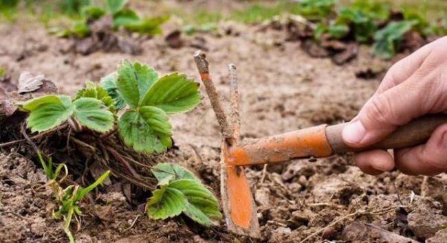 Как только сходит снег, садоводу необходимо вспомнить про лопату и тяпку – двух незаменимых помощников на огороде
