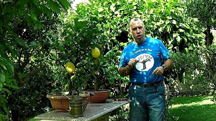 Cultivar limoneros en maceta verano 2016