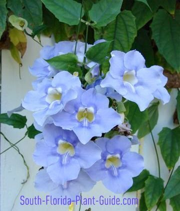 South Florida Vines are an exuberant mix of spectacular flowers for summer or winter bloom.