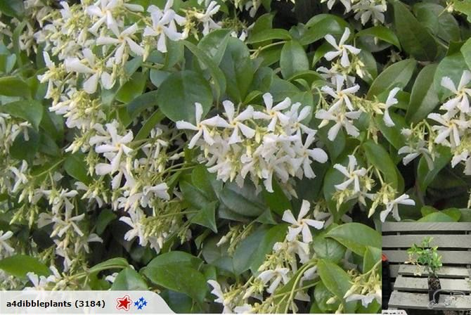 Trachelospermum  jasminoides (star jasmine climber) ~ Has the most intense scent and flowers for a long period over summer.  A quick growing evergreen climber with attractive white flowers. Grow near an open window to get the benefit of the scent.  Full sun or partial shade and low maintenance.