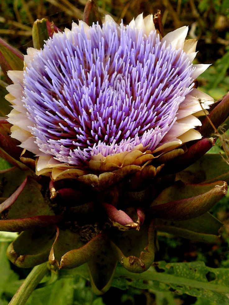 how to grow artichokes from crowns