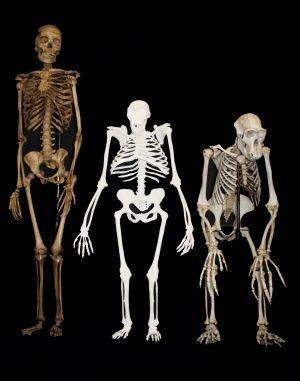 A reconstruction of the Australopithecus sediba skeleton (centre), compared to those of a modern human (left) and a chimpanzee (Pan troglodytes; right).