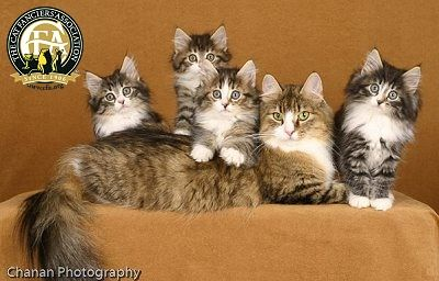 The Norwegian Forest Cat may resemble other semi-longhaired breeds such as the Maine Coon or even some random bred longhaired cats. In fact, there is considerable difference. Without a doubt, the expression of the Norwegian Forest Cat is striking and distinctive among pedigreed cats. Large, almond-shaped eyes with their oblique set and the equilateral triangle-shaped head contribute to the unique appearance of this breed. Heavily furnished ears that fit into the triangle finish the look.