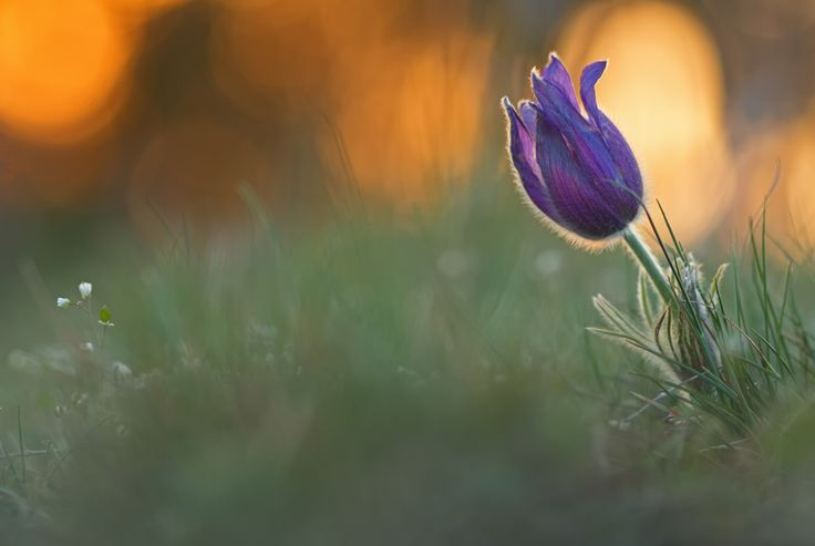 Blume frühblüher küchenschelle kuhschelle pulsatilla Pulsatilla vulgaris