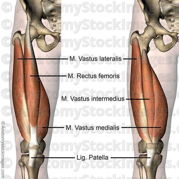 9 best images about rectus femoris muscle injury on pinterest, Muscles