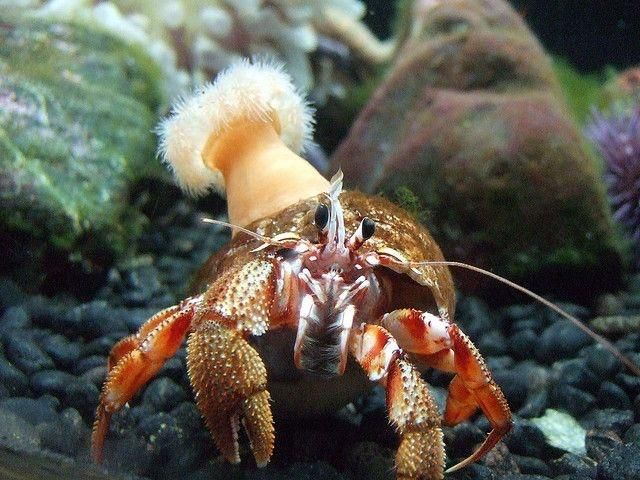 How To Tell A Hermit Crabs Gender