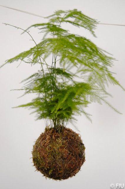 Um jardim para cuidar: Kokedama...plantas por um fio....