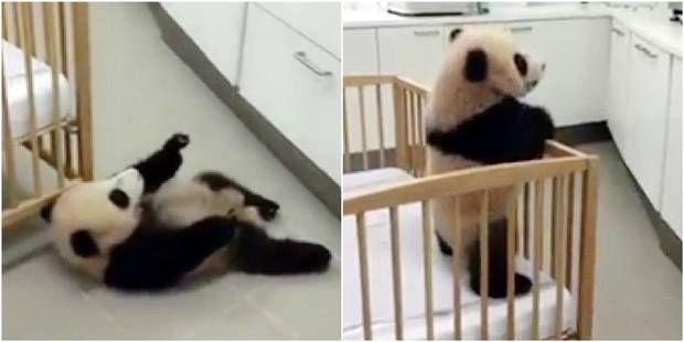 Le bébé panda de Pairi Daiza est en pleine forme: la preuve en vidéo!