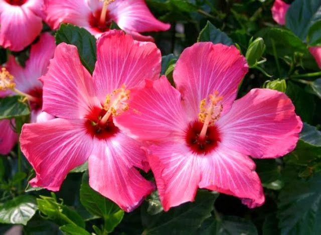 Çiçek Türleri Ve Anlamlari: Amber çiçeği
