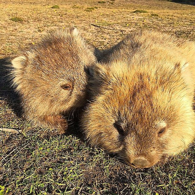 Something adorable to start the weekend with, two wombats on Maria Island via http://buff.ly/1GL1ymf?utm_content=buffer16812&utm_medium=social&utm_source=pinterest.com&utm_campaign=buffer #Tasmania