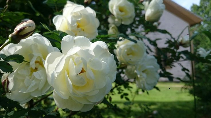 Juhannusruusu Rosa pimpinellifolia 'Plena'