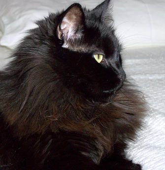 Chantilly (or Tiffany) Cats | Chantilly (or Tiffany) Cat Breed Info & Pictures | petMD