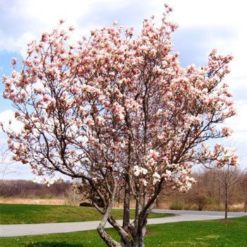 Flowering Trees & Small Ornamental Trees Perfect for Your Area   Fast Growing Trees