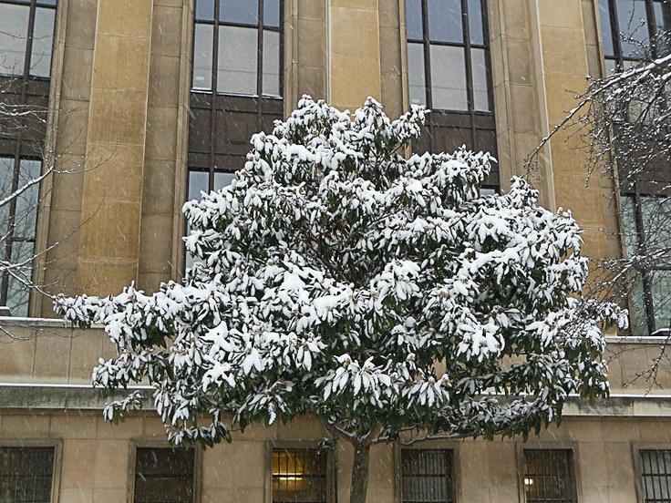 Néflier du Japon sous la neige  http://www.pariscotejardin.fr/2013/01/neflier-du-japon-sous-la-neige/