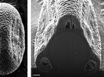 Wits splits pollen in world's first Times LIVE | 05 September, 2013 13:11 Whole pollen grain of Justicia flava and a cross section showing the whole cut surface. Image by: University of the Witwatersrand Whole pollen grain of Isoglossa ovata and a cross section through the whole grain. Image by: University of the Witwatersrand previous next        University of the Witwatersrand researchers have become the first in the world to manage to cut sections through pollen grains and …
