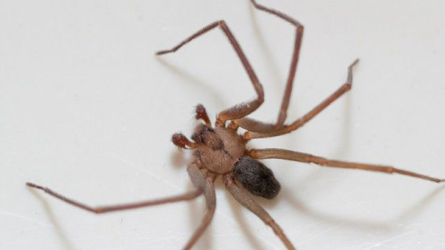 brown recluse spider on white backgroundhttps://www.diehardsurvivor.com/you-just-got-bit-by-a-brown-recluse-spider-heres-how-to-effectively-treat-it-when-the-grid-goes-down/