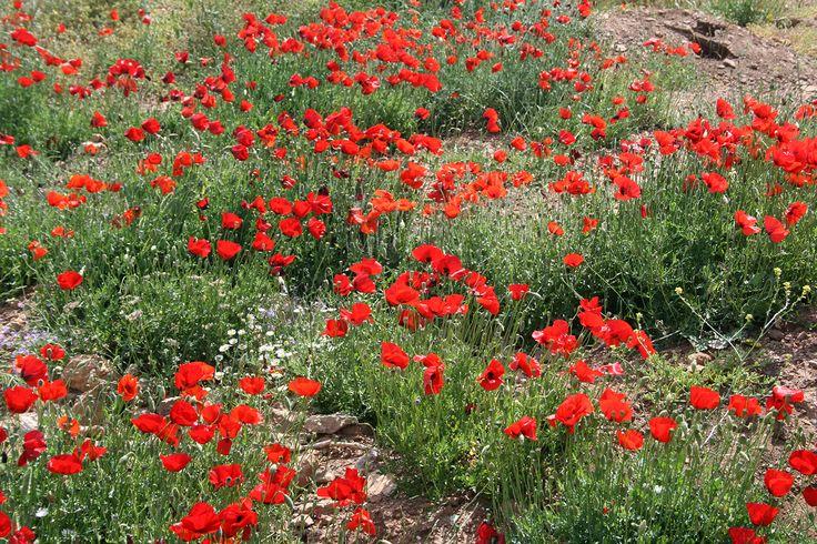 Sounio red poppy