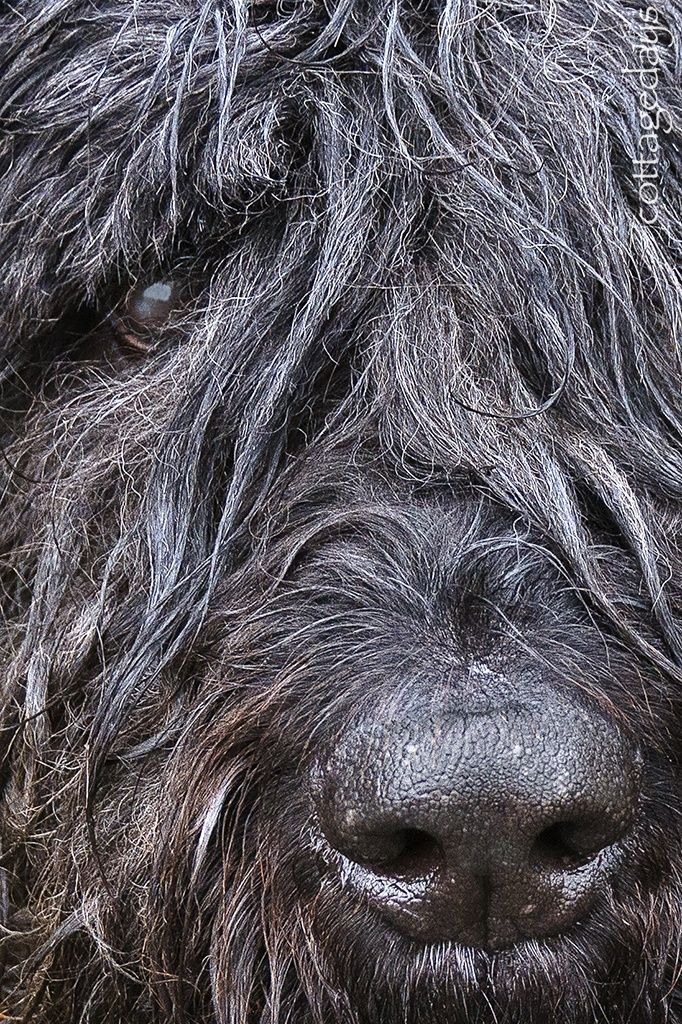 1000+ images about Bouvier des flandres on Pinterest | Image dog ...
