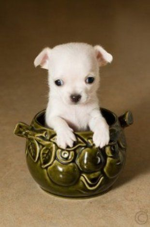 dog breeds that don't shed | Small Puppy Last month, we brought you ...