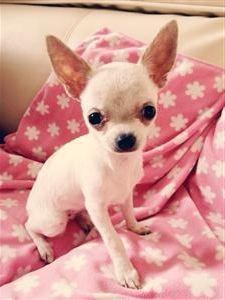 Chihuahua cream tiny tea cup girl cream in colour