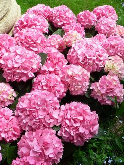 garden with hydrangeas only - Google Search