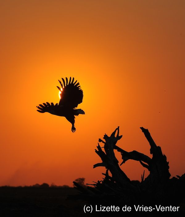 African fish eagle in flight at sunset