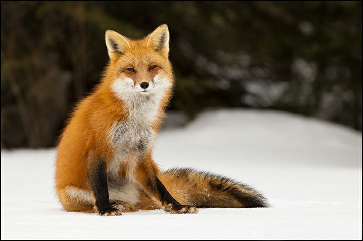 Red Fox-Sitting in the now