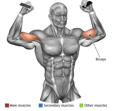 BICEPS -  OVERHEAD CABLE CURL
