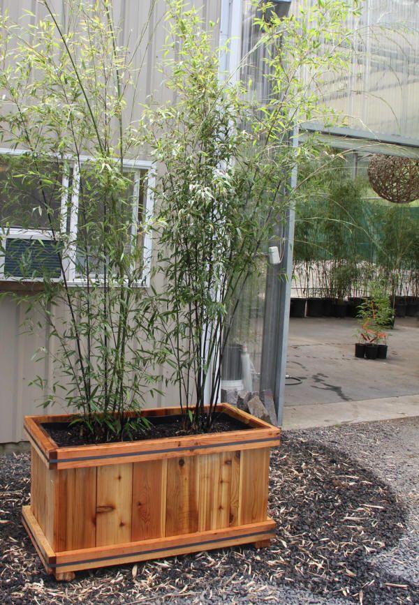 The 25+ best Bamboo planter ideas on Pinterest Bamboo screening - bambus garten design