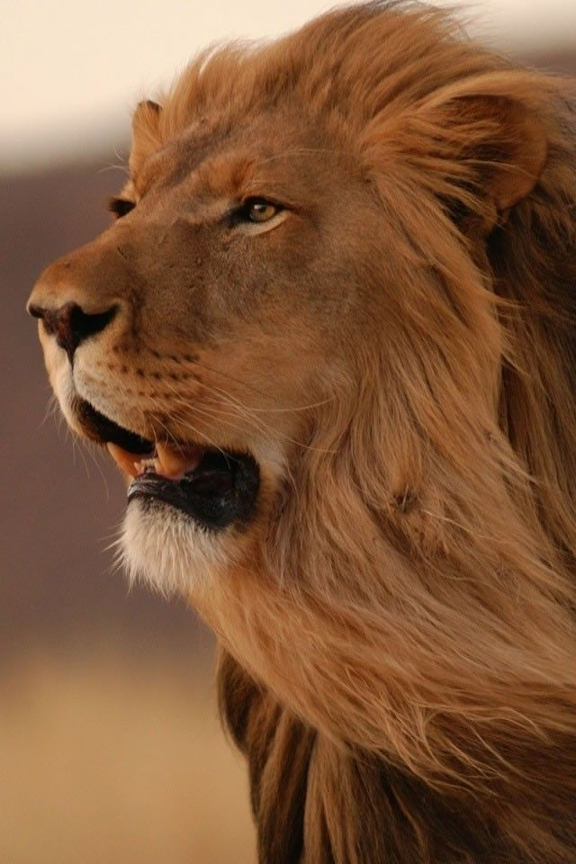 Image Gallery lion roaring mane wallpaper